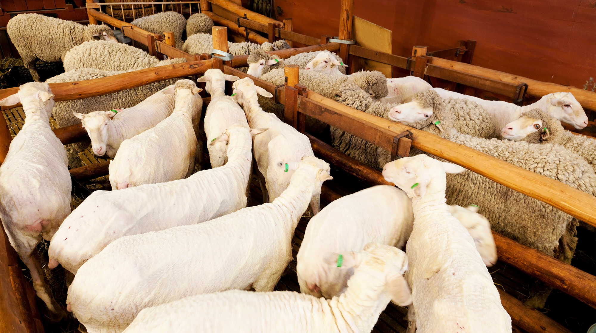 AUSTRALIAN SHEARING SUPPLIES